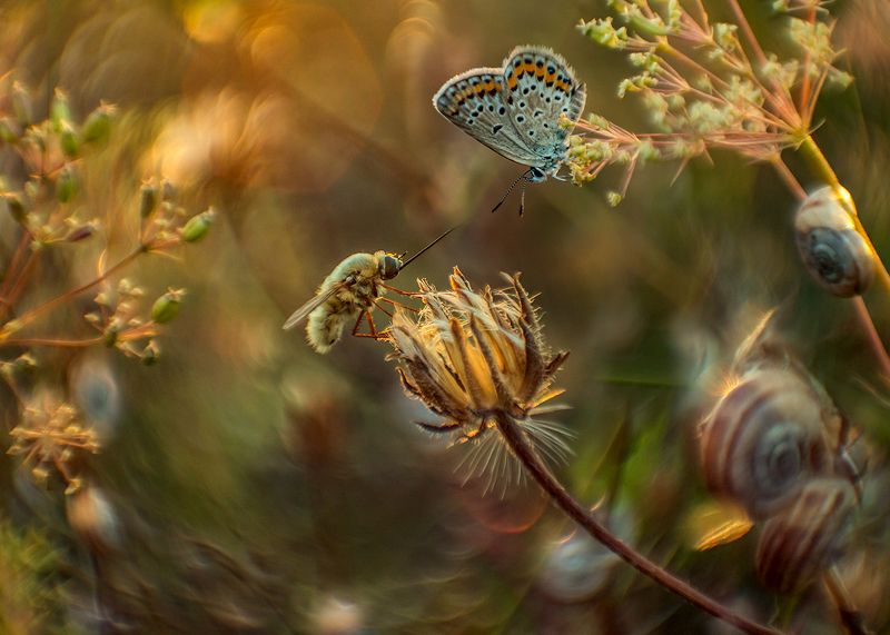 макро, насекомые, муха жужжало, бабочка, голубянка Душевный разговорphoto preview