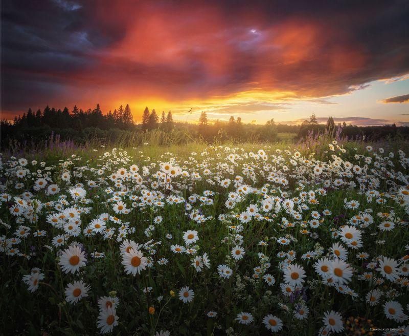 закат, лето, поле, ромашки Ромашковый закатphoto preview