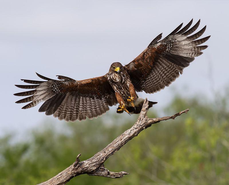 пустынный канюк, harris\\\'s hawk, hawk, тx, texas, raptor, хищные птицы Пустынный канюк - Harris\'s Hawkphoto preview