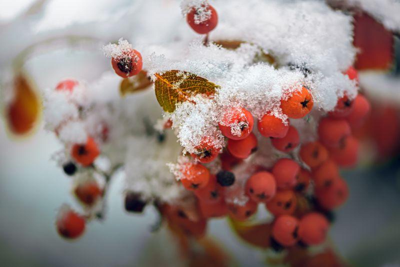 природа, макро, осень, рябина, снег \