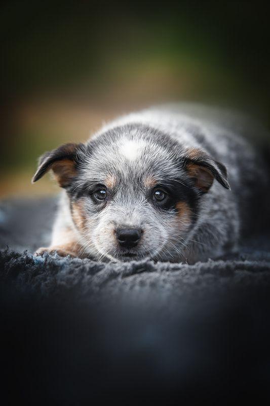 австралийскийхилер, щенок АР Ямамотоphoto preview