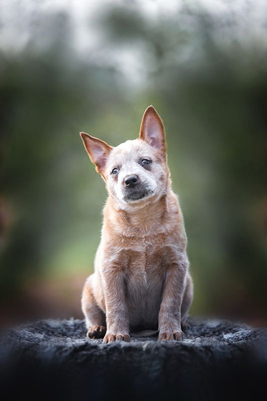 австралийскийхилер, щенок Щенок австралийского хилераphoto preview