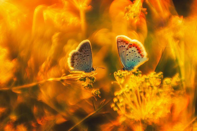 макро, бабочка, голубянка ***photo preview