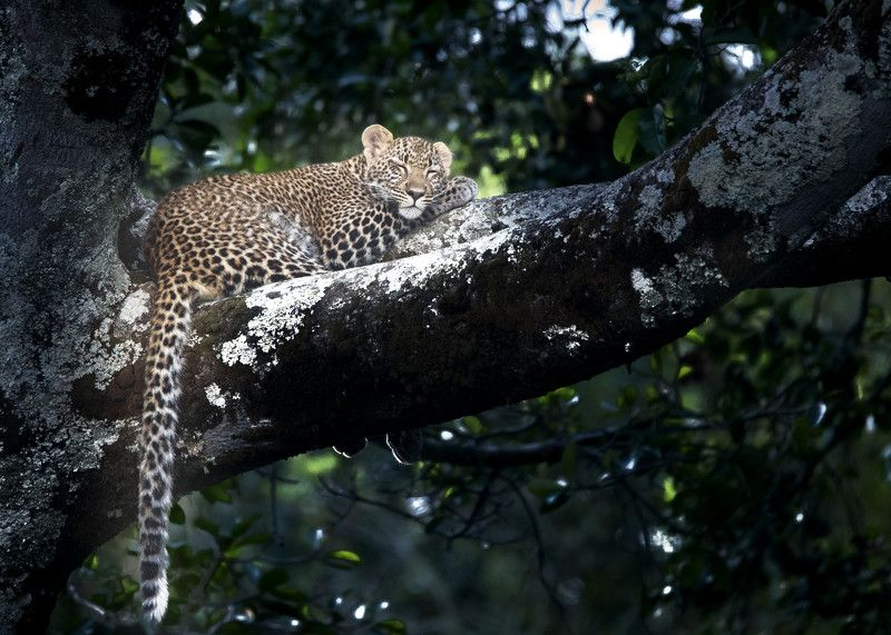 Leopard  Leopard resting on Treephoto preview