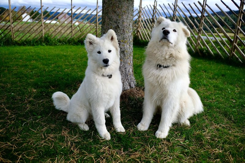 Animals, dogs, samoyed, Norway, fauna, white, cute, nature, brothers,  Послушные мальчишкиphoto preview