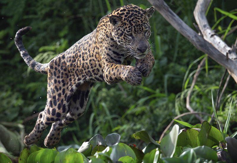 Прыжок ягуара.photo preview
