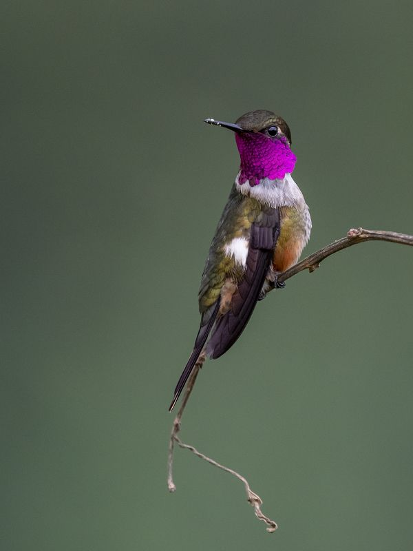 Magenta-throated Woodstarphoto preview