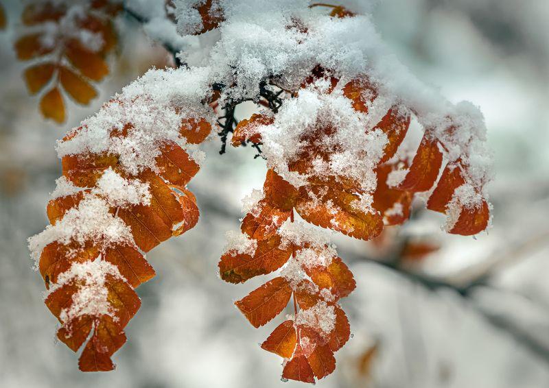 природа, макро, осень, рябина, снег Припорошилоphoto preview