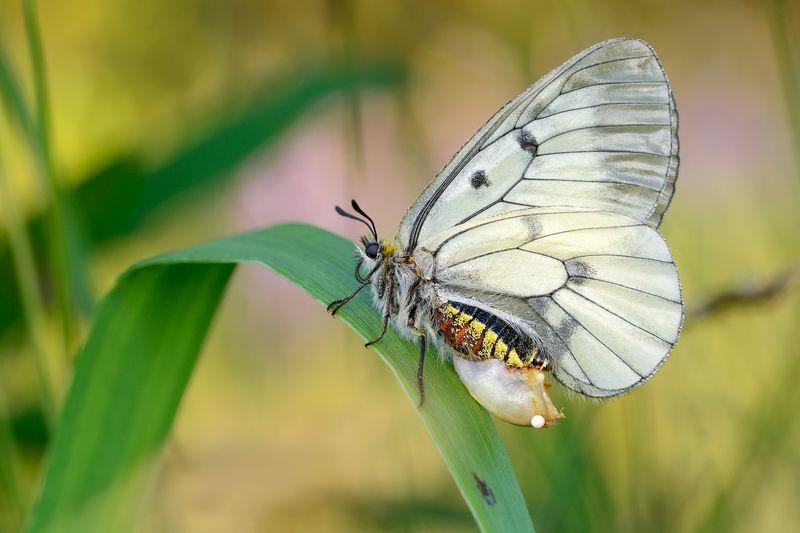 мнемозина, чёрный аполлон, parnassius mnemosyne, парусники, papilionidae, бабочка, яйцо, закат Ab ovophoto preview
