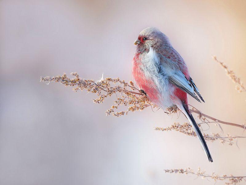 природа, фотоохота,  птицы, животные, урагус В лучах утреннего  солнцаphoto preview