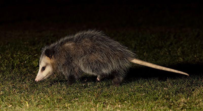 опосcум, opossum, дикие животные Опосcум - Opossumphoto preview