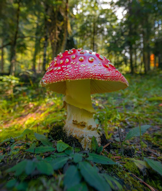 северный кавказ, мухомор, гриб, растение, природа, осень, лес, в лесу, Мухоморphoto preview