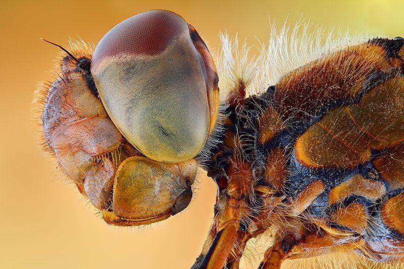 irass, waledzik, nat geo, olympus, close up, macro, extreme macro, макро Dragonfly.photo preview