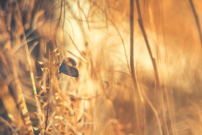 макро, бабочка, голубянка photo preview