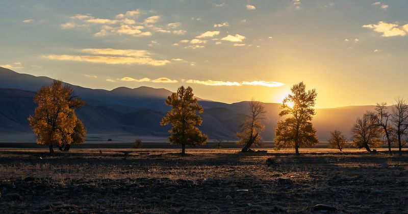 курайская степь, золото, утро, рассвет, тополя, лиственницы, алтай, республика алтай Pro золото Кураяphoto preview