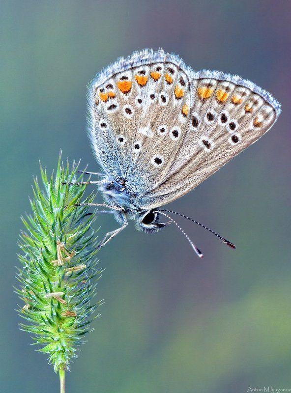 Макро, Природа Голубянка Икар (лат. Polyommatus icarus)photo preview