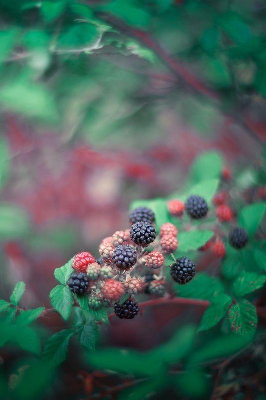 green,blue,bokeh,blackberry,fruit,zenit,helios,nikon,light,nature,exterior,forest,autumn, Blackphoto preview