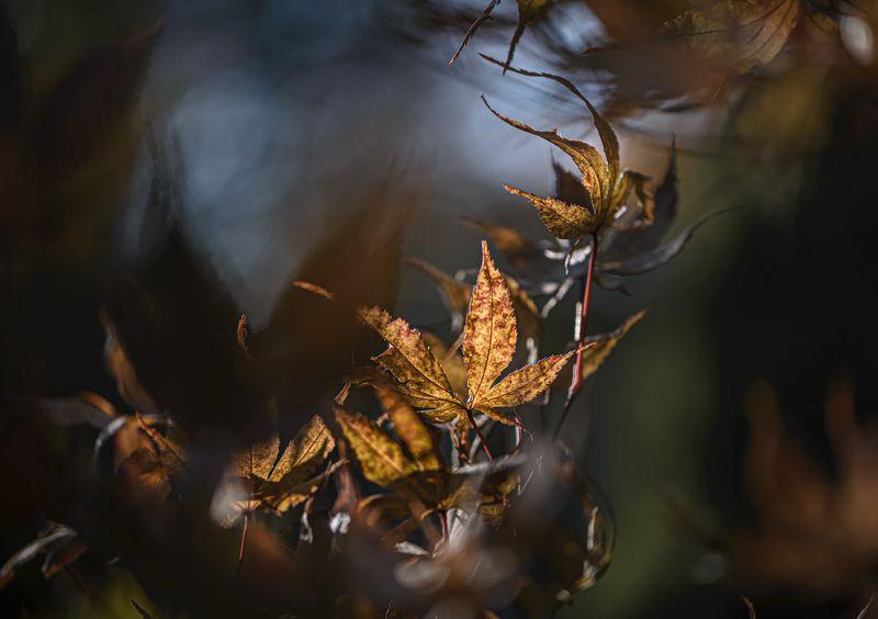 природа, макро, осень, клен Вихри враждебные...photo preview