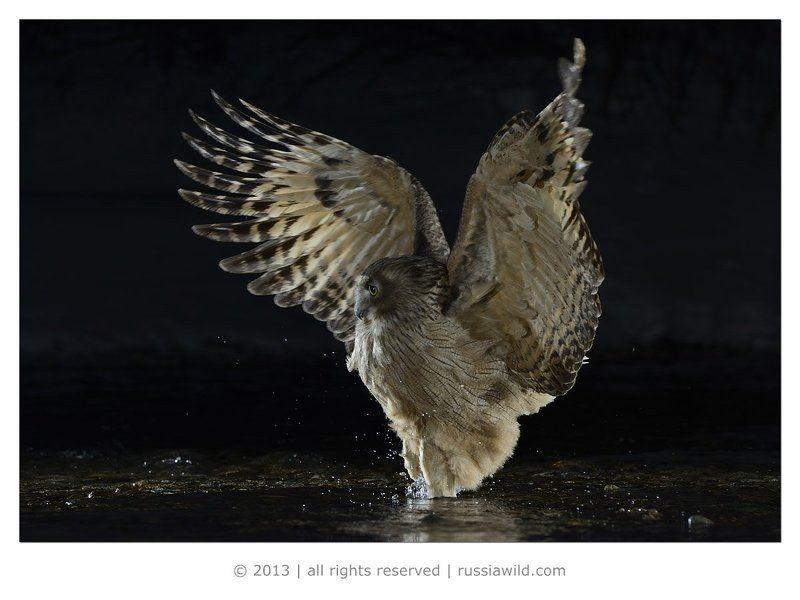 Дальневосточный рыбный филин, Дикая природа россии, Красная книга Танец рыбного филинаphoto preview