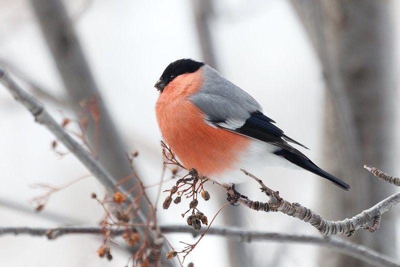 птицы, снегирь Покормите птичекphoto preview
