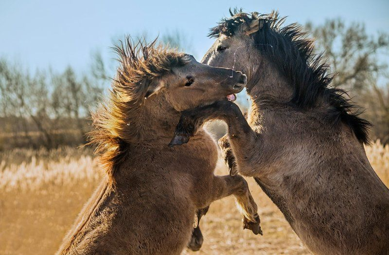 Дикие лошади, Лошади Дикие лошадиphoto preview