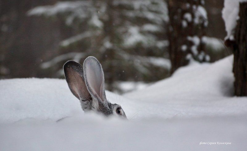Заяц Уши-то видноphoto preview