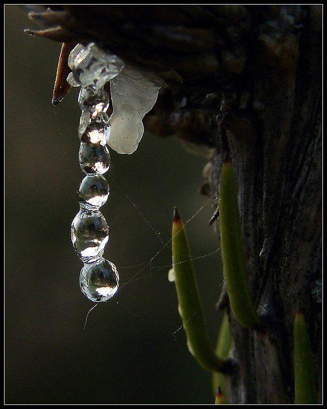 макро, ель, смола, паутина, природа Рождение янтарного ожерельяphoto preview