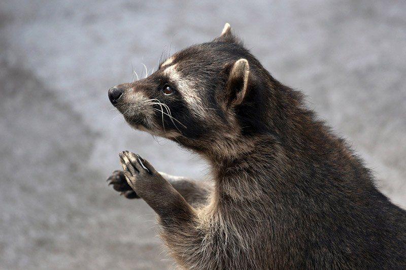животные, енот, зоопарк Енотphoto preview