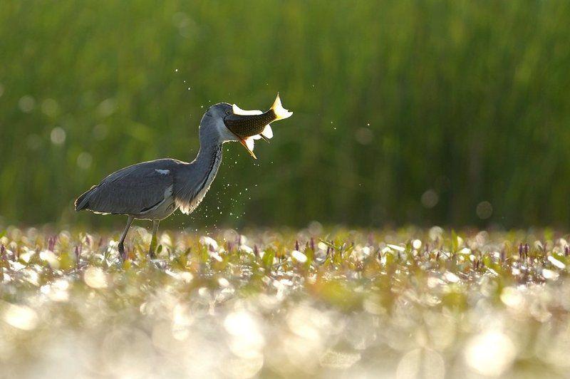 Grey heron fishingphoto preview