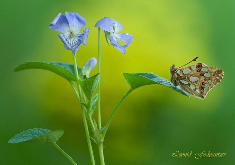 Butterfly, Issoria lathonia, The Queen of Spain Fritillary, Бабочка, Перламутровка латония, Фиалка Взаимность. Латония и фиалка.photo preview