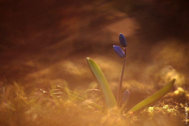 Дикая природа россии, Пролеска, Растение, Цветок Весенняя #2photo preview