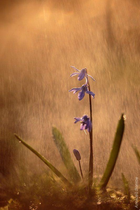 Дикая природа, Пролеска, Сцилла Весенняя #3photo preview