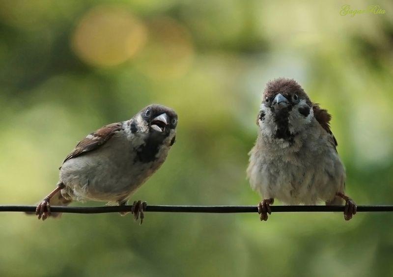 воробьи, птицы, животные Partisanenphoto preview