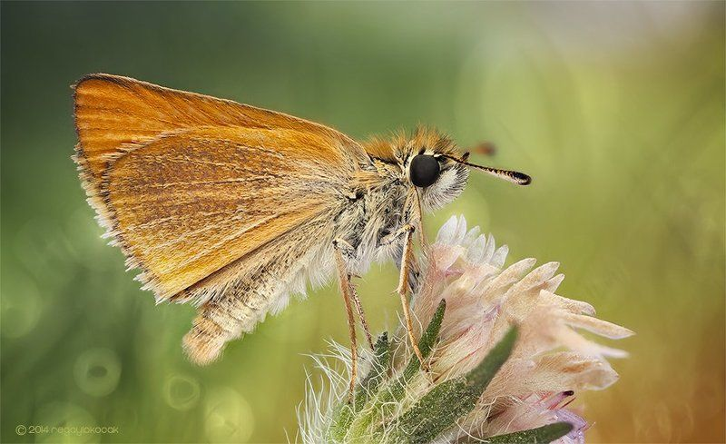 Ochlodes (Butterfly Bokeh)photo preview
