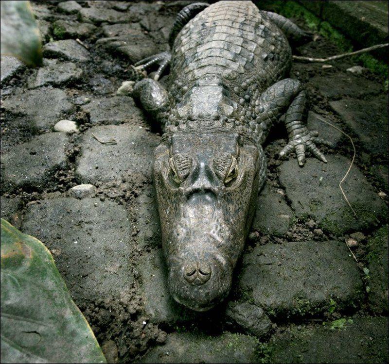 крокодил вы такой плоский и зеленыйphoto preview