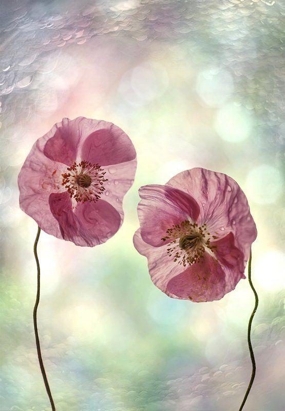 Декоративные маки, Природа, Флора, Цветы Поговорим?...photo preview