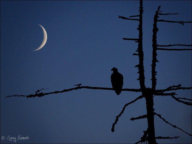Белоплечий орлан, Сахалин Встреча в ночной тундреphoto preview