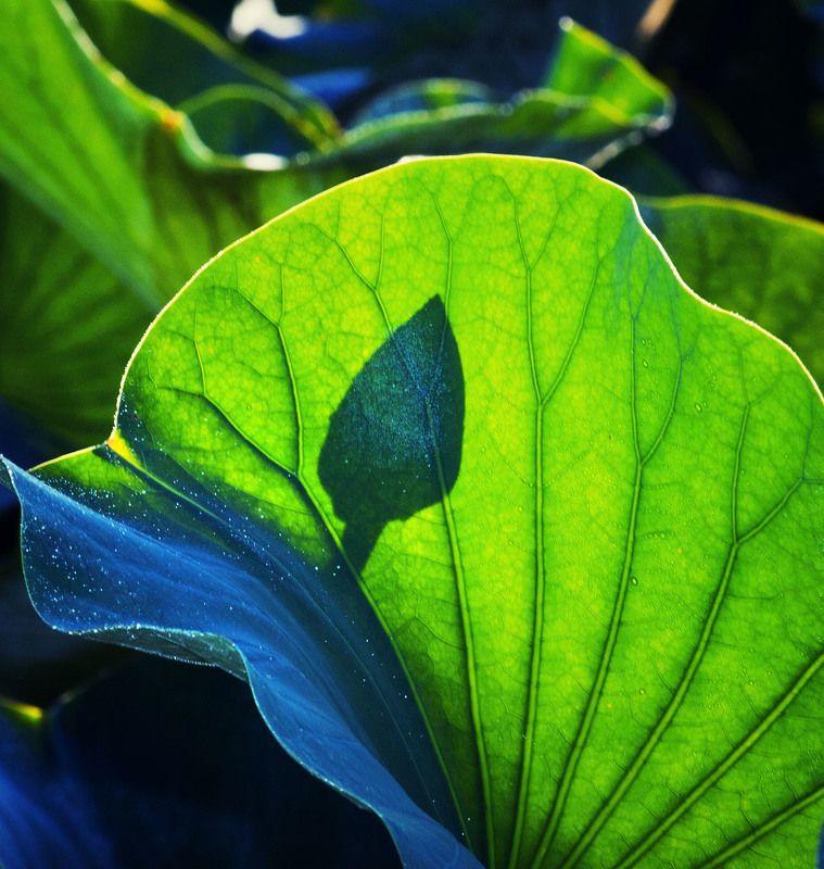 Lotus *photo preview