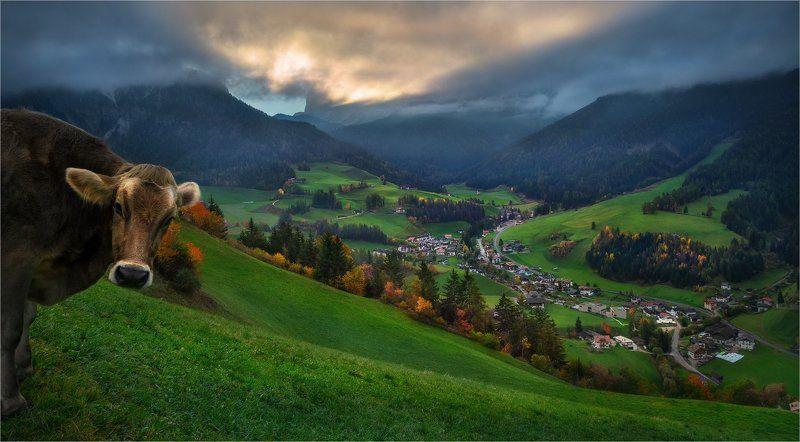 Альпы, Горы, Доломитовые альпы, Италия, Корова, Луг, Трава, Утро «Tales of Dolomites - Legend of the very curious cows»photo preview