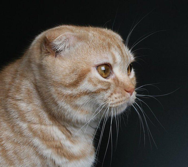 кот, британский вислоухий ***photo preview