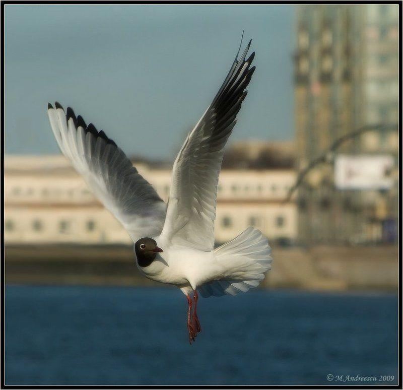 чайка, птица, птицы, пернатые Невское болеро (Этюд №1)photo preview