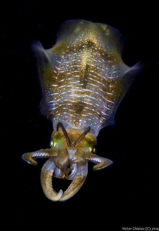 Underwater, Кальмар Любопытствующийphoto preview