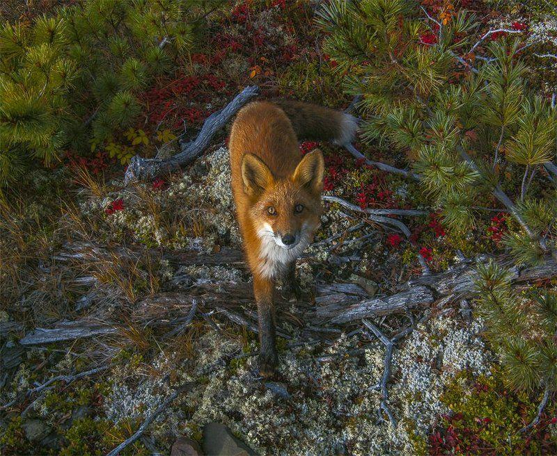 fox, лис, Оймяконский район, якутия про одну неожиданную встречу в якутских горахphoto preview