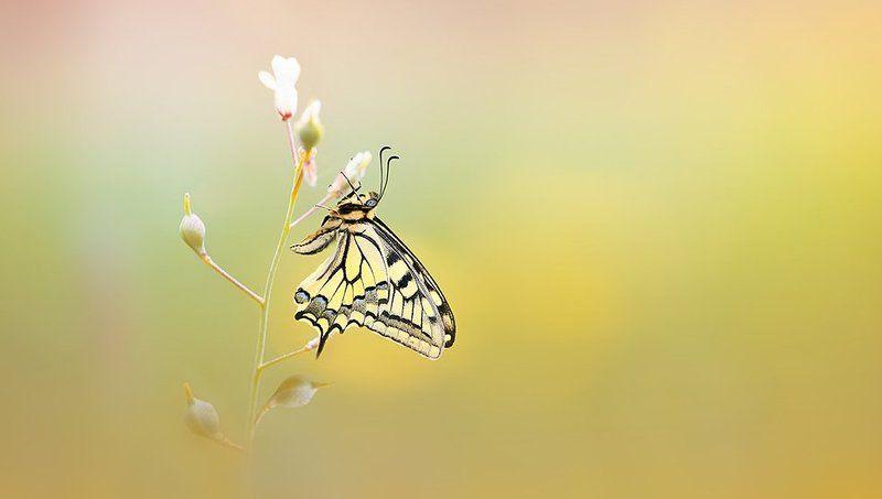 Papillon machaonphoto preview