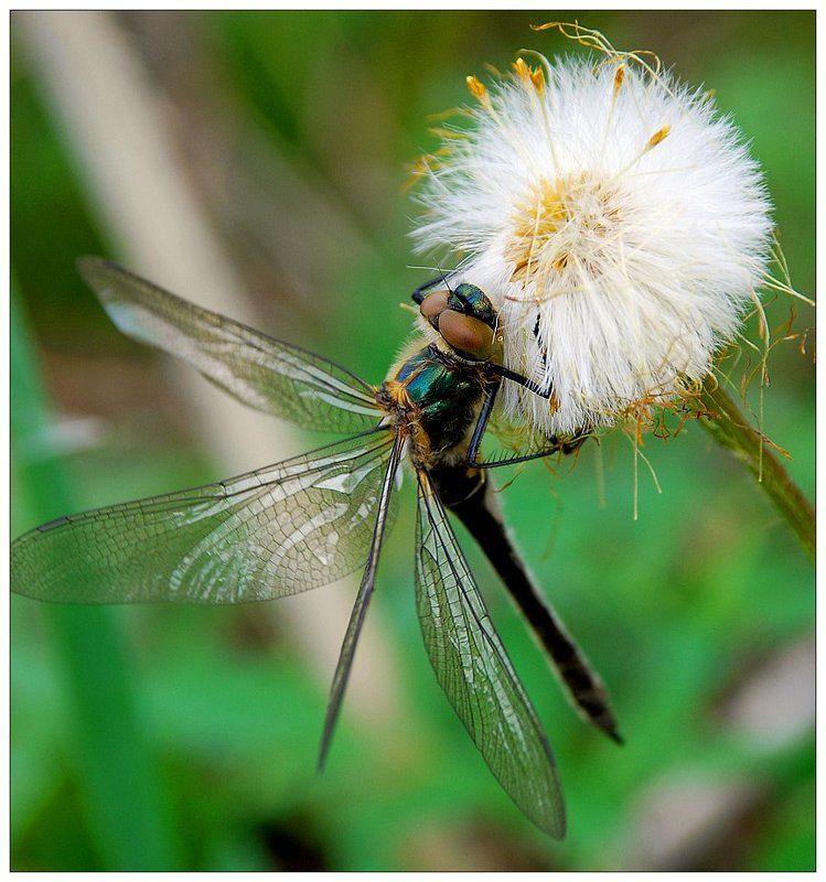 стрекоза, макро, цветок Красоткаphoto preview
