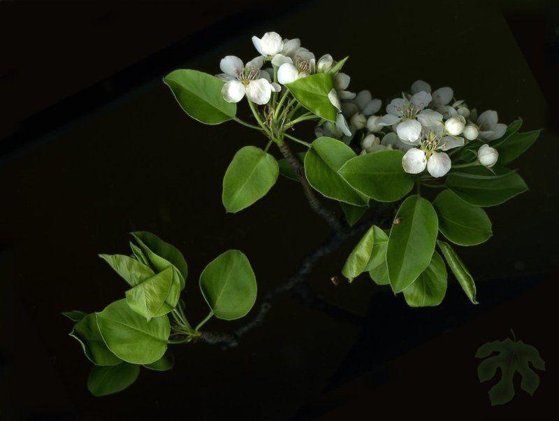 цветы, груша, сканограмма Грушаphoto preview