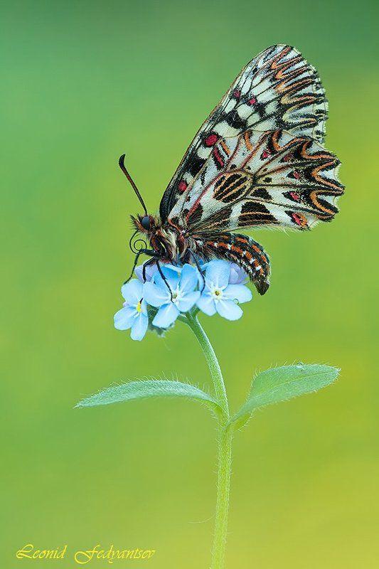 Butterfly, The Southern Festoon, Zerynthia polyxena, Бабочка, Зеринтия Поликсена, Незабудки, Поликсена, Цветок Весенняя темаphoto preview