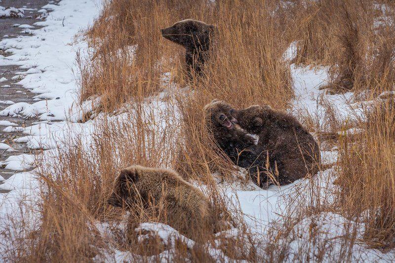Nature, Камчатка, Курьльское озеро, Снег Игры медвежатphoto preview