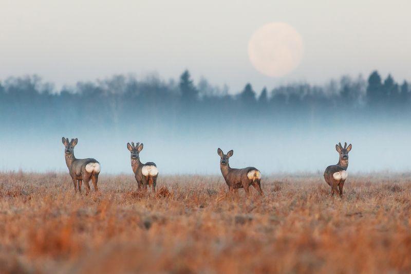 Косули Свидание под луной назначила троим... photo preview