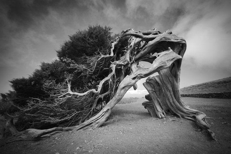 эль йерро, Sabina de Machin, чёрно белая фотография, ч б фото, природа, можжевельник, канары, Канарские острова, Испания, дерево, sabina Sabina de Machinphoto preview